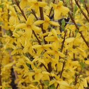 Forsythia x intermedia 'Week-End' (Large Plant) - 1 x 3.6 litre potted forsythia plant