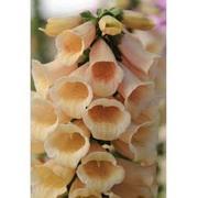 Foxglove 'Dalmatian Peach' - 12 foxglove plug plants