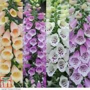 Foxglove 'Dalmatian Mixed' - 24 foxglove plug plants