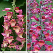 Foxglove 'Illumination Collection' - 2 x 9cm potted foxglove plants - 1 of each colour