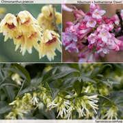 Fragrant Winter Shrub Collection - 3 x 9cm potted shrub plants (1 of each variety)