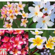 Frangipani Collection - 4 frangipani bare roots plants - 1 of each colour