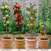 Fruit Tree Collection (Mini Fruit Tree) - 1 x Patio Fruit Tree Collection