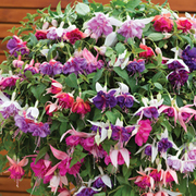 Fuchsia 'Giants Collection' (Pre-Planted Basket) - 1 x fuchsia pre-planted basket