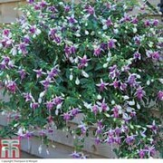 Fuchsia 'Trailing Mixed' (Pre-Planted Basket) - 1 x fuchsia pre-planted basket + 100g pack of incredibloom®