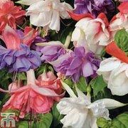 Fuchsia Silver, Gold and Platinum Lucky Dip Collections - Silver Collection - 10 fuchsia postiplug plants