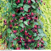 Fuchsia 'Lady in Black' - 10 fuchsia Postiplug plants