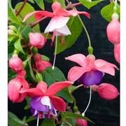 Fuchsia 'Chamaeleon' - 5 fuchsia Postiplug plants