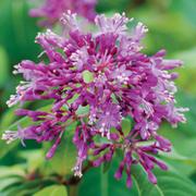 Fuchsia arborescens - 1 fuchsia jumbo plug plant