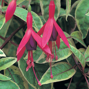 Fuchsia 'Tom West' (Hardy) (Large Plant) - 1 x 2 litre potted fuchsia plant