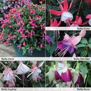 Fuchsia 'Bella Collection' - 10 fuchsia Postiplug plants - 2 of each variety