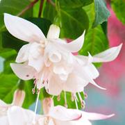 Fuchsia 'White King' - 10 fuchsia Postiplug plants