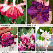 Fuchsia 'Giant Marbled' Collection - 20 fuchsia Postiplug plants - 4 of each variety