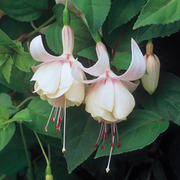 Fuchsia 'Annabel' (Large Plant) - 1 x 2 litre potted fuchsia plant