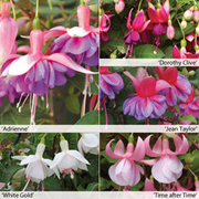 Fuchsia 'Buds of May Collection' - 5 fuchsia Postiplug plants - 1 of each variety
