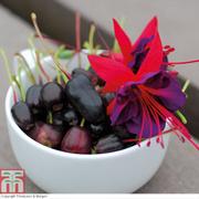 Fuchsia Berry - 10 fuchsia Postiplug plants
