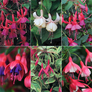 Fuchsia Hardy Mix (Large Plant) - 3 x 2 litre potted plants