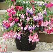 Fuchsia '3-in-1 Pot' - 1 x 9cm potted fuchsia plant