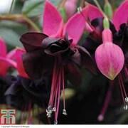 Fuchsia 'Blacky' - 5 fuchsia Postiplug plants