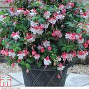 Giant Patio Fuchsia 'Swingtime' - 1 x Giant Patio Fuchsia 'Swingtime' Tower Pot™ Collection