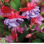 Fuchsia 'Icing Sugar' - 10 fuchsia Postiplug plants