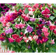 Fuchsia 'Giants Bumper Collection' - 10 fuchsia plug plants - 1 of each variety
