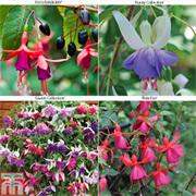 Ultimate Fuchsia Collection (Hardy) - 20 fuchsia Postiplug plants
