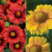 Gaillardia x grandiflora 'Arizona Collection' - 2 packets - 1 of each variety (40 gaillardia seeds in total)