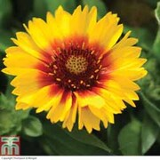 Gaillardia aristata 'Arizona Sun' - 1 packet (20 gaillardia seeds)