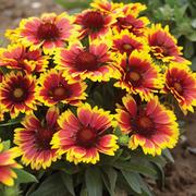 Gaillardia aristata 'Arizona Sun' (Large Plant) - 1 x 1 litre potted gaillardia plant