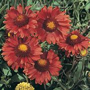 Gaillardia aristata 'Burgundy' (Large Plant) - 1 x 1 litre potted gaillardia plant