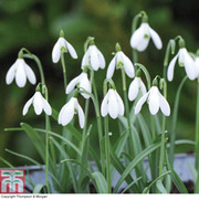 Snowdrop (Giant) - 10 snowdrop bulbs