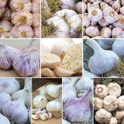 Garlic 'Grow Your Own Collection' (Autumn Planting) - 10 garlic bulbs + 5 garlic cloves