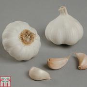 Garlic 'Arno' (Spring/Autumn Planting) - 2 garlic bulbs