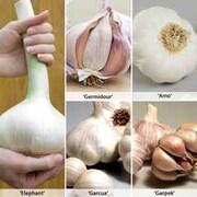 Autumn Garlic Collection - 1 collection