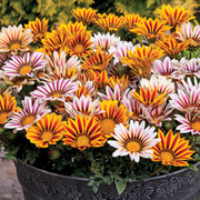 Gazania 'Tiger Stripes Mixed' - 36 gazania plug plants