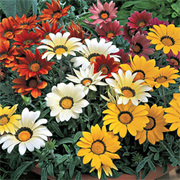 Gazania 'Frosty Kiss Mixed' - 24 gazania plug plants