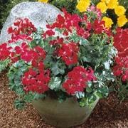 Geranium 'Summer Showers Burgundy' - 1 packet (6 geranium seeds)