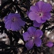 Geranium pratense 'Purple Haze' - 1 packet (5 geranium seeds)
