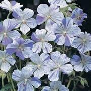 Geranium pratense 'Splish Splash™' - 1 packet (8 geranium seeds)