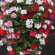 Geranium 'GeRainbow™ Mixed' - 5 geranium jumbo plug plants