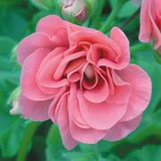 Geranium 'Pink Sybil' - 5 geranium jumbo plug plants