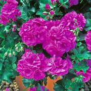 Geranium 'Blue Sybil' - 5 geranium jumbo plug plants