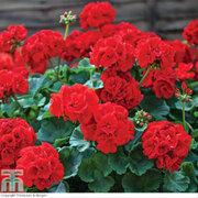 Geranium 'Best Red' F1 Hybrid - 36 geranium plug plants