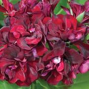 Geranium 'Black Rose' - 5 geranium jumbo plug plants
