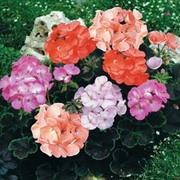 Geranium 'Black Velvet Mix' F1 - 24 geranium plug plants