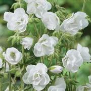Geranium pratense 'Laura' - 1 bare root geranium plant