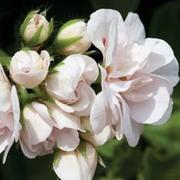 Geranium 'White Rose' - 5 geranium jumbo plug plants
