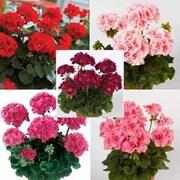 Giant Geranium Collection - 5 geranium jumbo plug plants - 1 of each variety