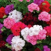 Geranium 'Rosebud Collection' - 10 geranium jumbo plug plants - 2 of each variety
